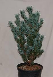 Arizona Tile Springfield Illinois Hours by Pinus Parviflora Miyajima