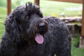Best Guard Dogs That Dont Shed by Black Russian Terrier Dog Breed Information Pictures