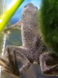 Do Aquatic Dwarf Frogs Shed Their Skin by Adf Trauma Dis F
