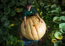 Natural Fertilizer For Pumpkins by The Secret To Growing The World U0027s Largest Pumpkin Science