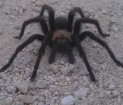 Do Tarantulas Shed Their Fangs by Interesting Facts Ozona Texas