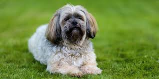 My Lhasa Apso Is Shedding Hair by Lhasa Apso Dogexpress