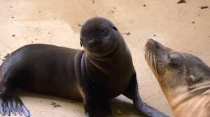 Brookfield Zoo Halloween Activities by Sea Lion Pups At Brookfield Zoo Youtube