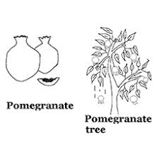 Top 10 Pomegranate Coloring Pages For Toddlers