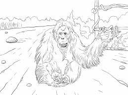 Sumatran Orangutan For Coloring Page