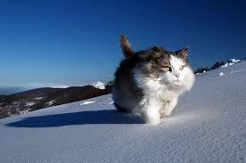 snow cat confident snow cat 1funny