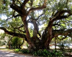 Shells Christmas Tree Farm Tuscumbia Al by The Duffie Oak Is A Historic Southern Live Oak In Mobile Alabama