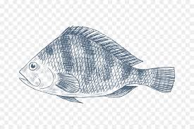 Nile Tilapia Drawing Fish Oreochromis Aureus