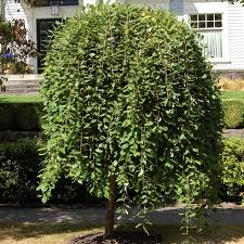 Dwarf Weeping Willow Tree
