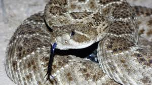 Snake Skin Shedding Lucky by Romeyswanson Yahoo Com Author At Adventures With A Modern Texas