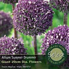 bulbs allium summer drummer bulbs for sale mail order