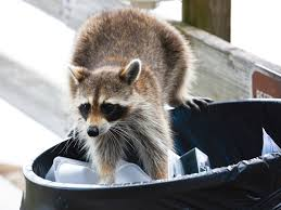 How To Get Rid Of Raccoons: Facts, Photos, & Control Service Wildlife Command Center Mo How To Get Rid Of Raccoons Youtube With A Motion Activated Sprinkler My To Of Raccoons Video Roof Pool Attic Yard 42 Best Raccoon Pictures Images On Pinterest Wild Animals Search For A Home Removal Homes All City Animal Trapping November 2010 Tearing Up Your Yard Theyre After The Grubs 3 Easy Ways Wikihow In Warning Signs Solutions Problems Precise Termite Baylcariasis The Tragic Parasitic Implications In