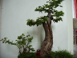pot bonsai grande taille orme les chuhin et autres grands bonsaï forums parlons bonsai