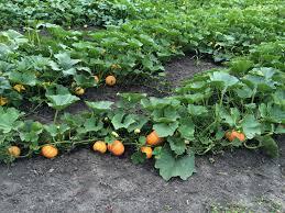 Carolyns Pumpkin Patch Kc by Pumpkin Patch Update