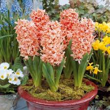 hyacinth bulbs for sale buy flower bulbs in bulk save
