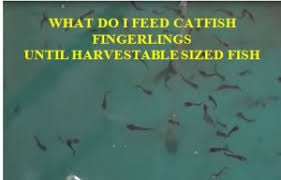 How To Feed Catfish Fingerlings Harvestable Sized Fish