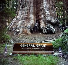 Christmas Tree Types In California by General Grant Tree Wondermondo