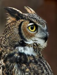 Great Horned Owl | Owl 3716 Best All About Owls Images On Pinterest Barn Owls Nature Winter Birding Guide Lake Champlain Region 53 Flight At Night Owl Species Farm House England Stock Photos Images 1538 Owls Photos Beautiful Birds 2552 Give A Hoot Children Large White Carraig Donn Mayo Sghilliard Glass Studio Little Opens In Westport Food Drink Nnecticutmagcom 250 Love You Always