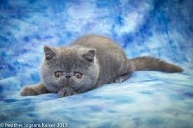 shorthair cat price milbury shorthair cattery shorthair cats