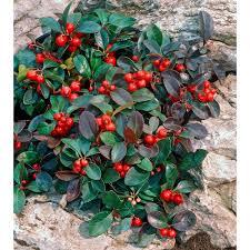 Winterberry Christmas Tree Farm by Wintergreen Gaultheria Procumbens White Flower Farm