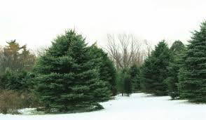 Frasier Christmas Tree Cutting by Christmas Tree Farms Near The Lake Michigan Shoreline