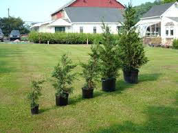 Leyland Cypress Christmas Tree Farm by Leyland Cypress Plants 2ft To 6ft In Height Landscape With Trees