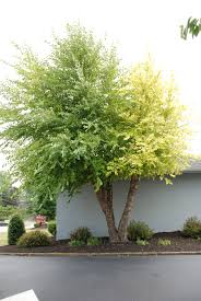Usda Christmas Tree Permits Colorado by What Grows There Hugh Conlon Horticulturalist Professor
