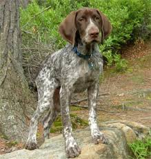 Non Shedding Large Dogs by German Shorthaired Pointer