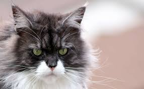 forest cat vs maine coon with a coon series introducing a maine coon cat to your