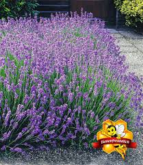 blauer lavendel duftlavendel 3 pflanzen kaufland de