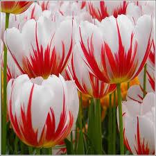 happy generation tulip bulbs tulips 49 75 per 100 bulbs