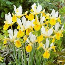 buy iris bulbs at best sale prices shop now
