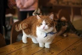 munchkins cats munchkin cats delightful legged cats