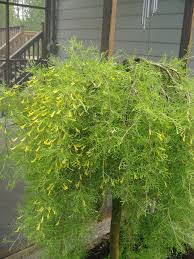 Caragana Arborescens Pendula Walker Fernleaf Weeping Pea 393382 Bytes