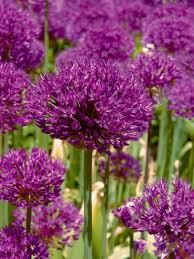 allium bulbs for sale allium purple sensation gold medal