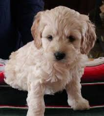 cockapoo the cutest dog cross between a cocker spaniel and a