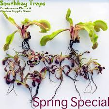 venus flytrap bundle of bareroot flytraps for sale