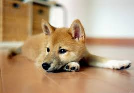 the shiba inu one of just 6 breeds to japan
