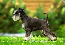 Tiny Non Shedding Dog Breeds by Miniature Schnauzer Dog Breed Information Buying Advice Photos