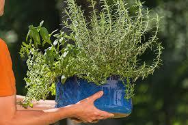 lavendel als zimmerpflanze verwenden geht das