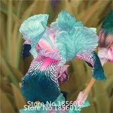 promotions 200pcs iris seeds mix 9 colors tectorum