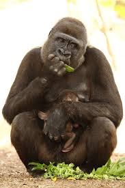 Western Lowland Gorillas Are On The Critically
