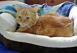 fatty liver cats fatty liver kills help save leo sparklecat