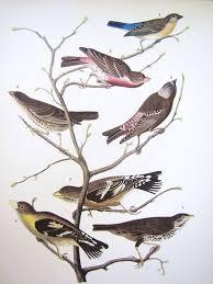 Rare 1st Ed Audubon Bird Lithograph Print Bunting Finch Cowbird Grosbeak