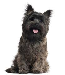 Low Shedding Small Dogs by Cairn Terrier