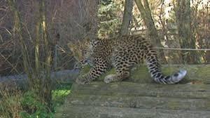 sendung verpasst wildes wohnzimmer leopard an der leine