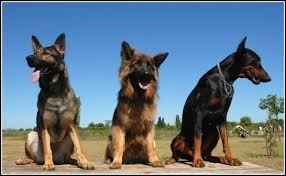 family guard dogs that don t shed dog pet photos gallery