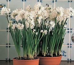 paperwhite ziva white flower farm