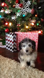 Do F1 Aussiedoodles Shed by 11 Best Aussiedoodle Ammo Images On Pinterest The O U0027jays Minis