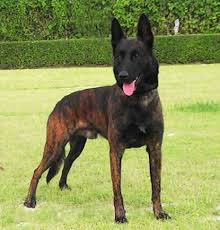71 best dogs images on pinterest belgian shepherd dogs and